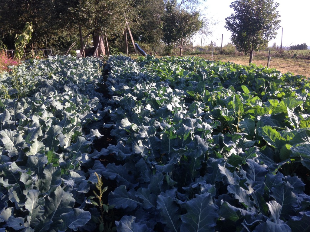 broccoli and overwintering cauliflower